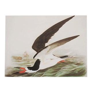 XL Audubon Print of Black Skimmer, 1966