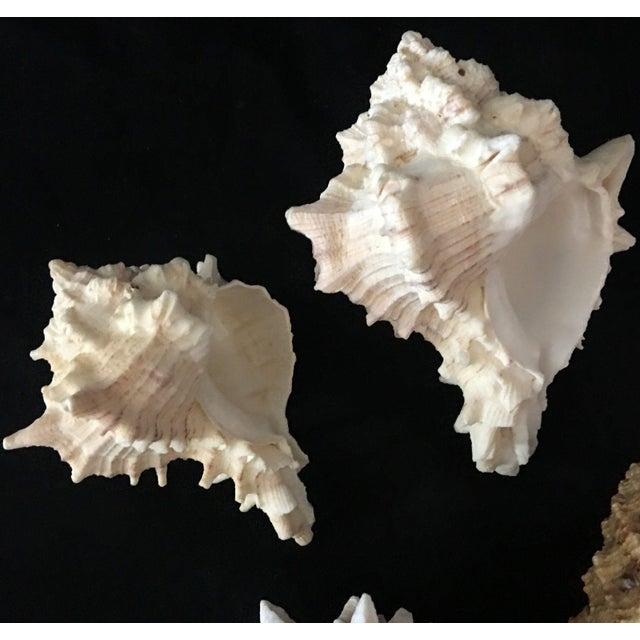 Murex Shell Lot - Set of 8 Shells Beautiful Specimen 114.3 mm general size