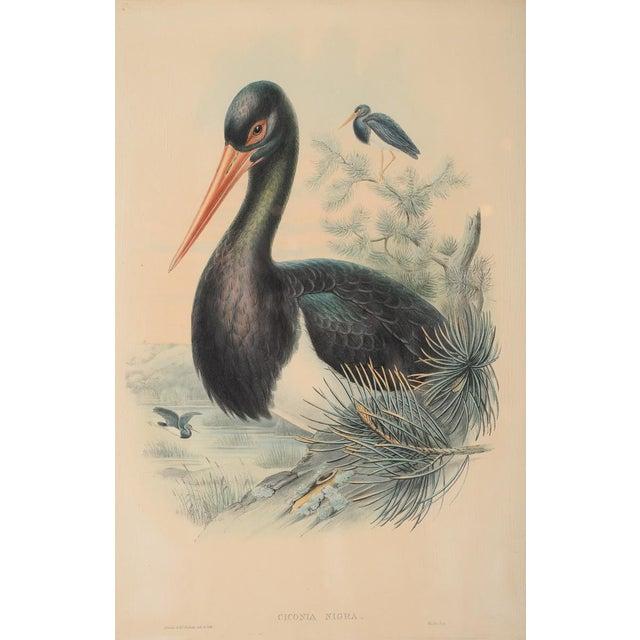 "John Gould ""Ciconia Nigra-Black Stork"" Bird Print - Image 3 of 7"
