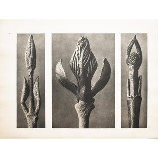 1935 Karl Blossfeldt Two-Sided Photogravure N7-8 For Sale