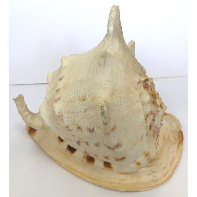 Natural King Helmet Conch Shell Specimen - Image 8 of 8