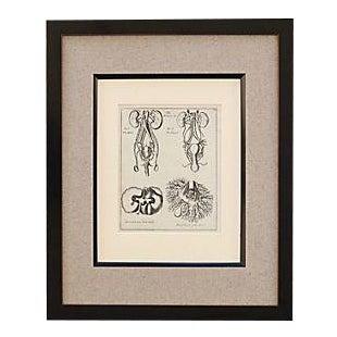 Antique Anatomical Plate Framed Print For Sale