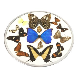 Vintage Framed Plate Display of 13 Real Butterflies