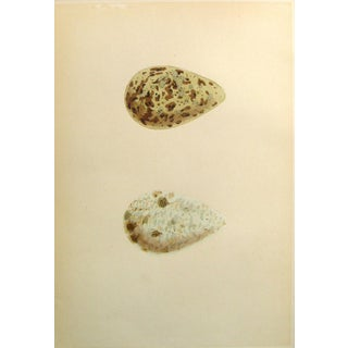 Speckled Bird Eggs, Circa 1900 Lithograph