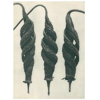 1928 Original Photogravure N27 of Chili Nettle by Karl Blossfeldt For Sale