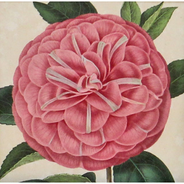 A lovely, Humboldt camellia hand-glazed chromolithograph printed in Belgium, by Verschaffelt, 1854. It is displayed in a...
