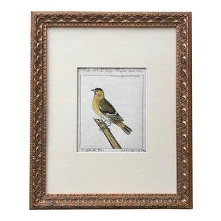 Antique Watercolor Bird Ornithological Study 1769 For Sale