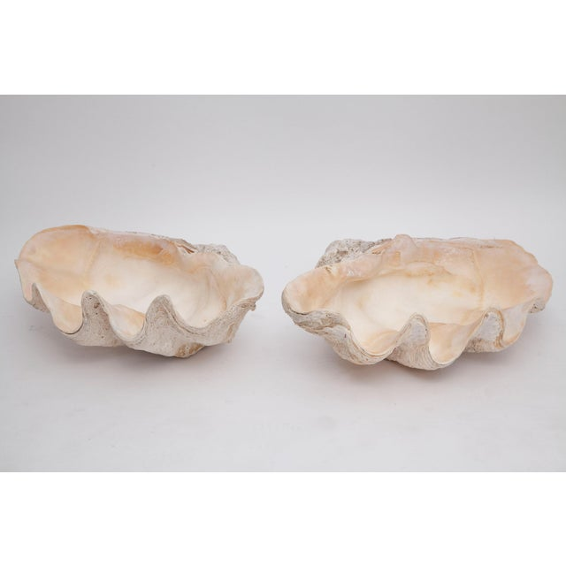 Pair of Giant Clamshells For Sale - Image 4 of 10