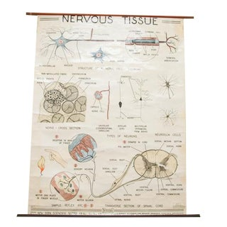 Mid-Century Nervous Tissue Science Pull Down Chart For Sale