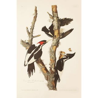 1990s Ivory-Billed Woodpecker by Audubon, Large American Classical or Cottage Print For Sale