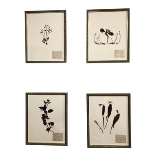 Antique Herbarium Dried Specimen, Framed - Set of 4 For Sale