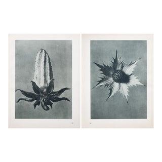 Blossfeldt Double Sided Photogravure N57-58