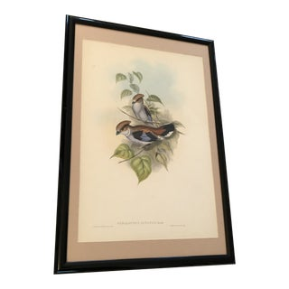 Mid 19th Century Antique Gould's Birds of Asia Serilophus Lunatus (Silver-Breasted Broadbill) Print For Sale