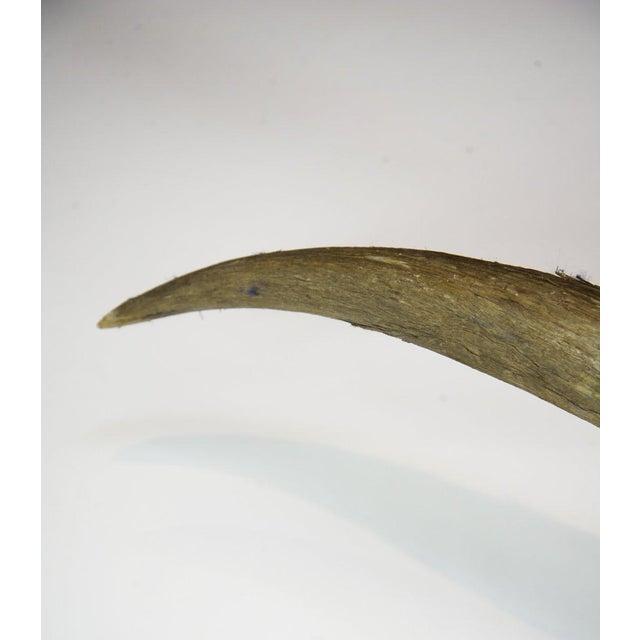 Texas Longhorn Skull Mount For Sale - Image 9 of 11