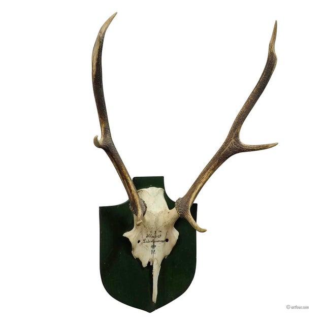 Large Black Forest Deer Trophy From Salem - Germany Kleeholz 1956 For Sale - Image 4 of 4
