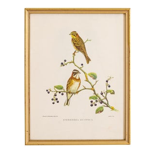 Bird Print | J Gould and Hc Richter Emberiza Rustica | Rustic Bunting For Sale