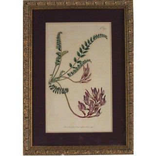 1797 William Curtis Botanical Lithograph