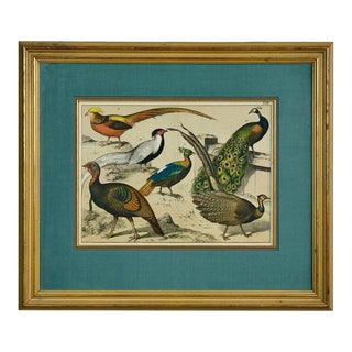 19th Century Hand-Colored Engraving Study of Peacocks