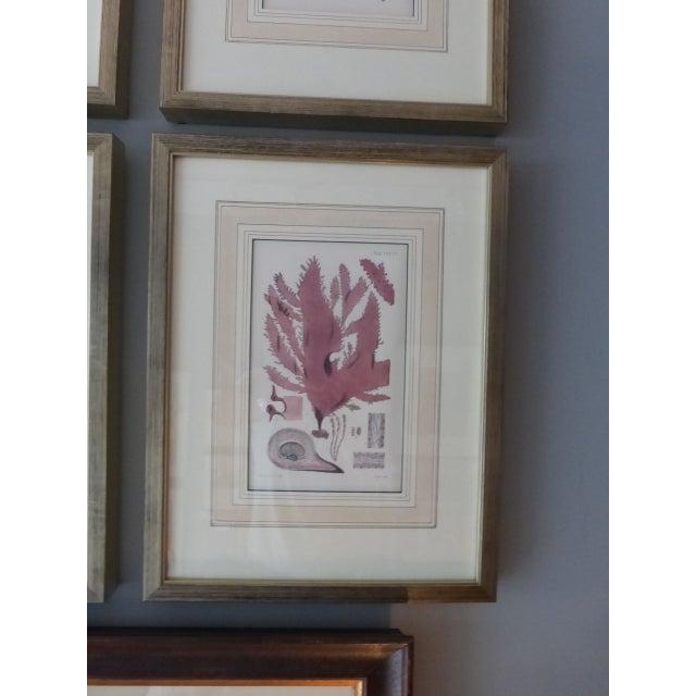 Antique Seaweed Engravings - Set of 8 - Image 7 of 8