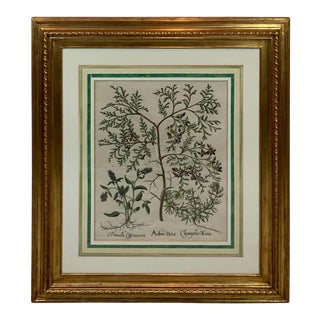 Basilius Besler, Arbor UItx, III For Sale