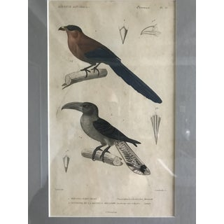 Early 20th Century Antique Framed Bird Print Preview