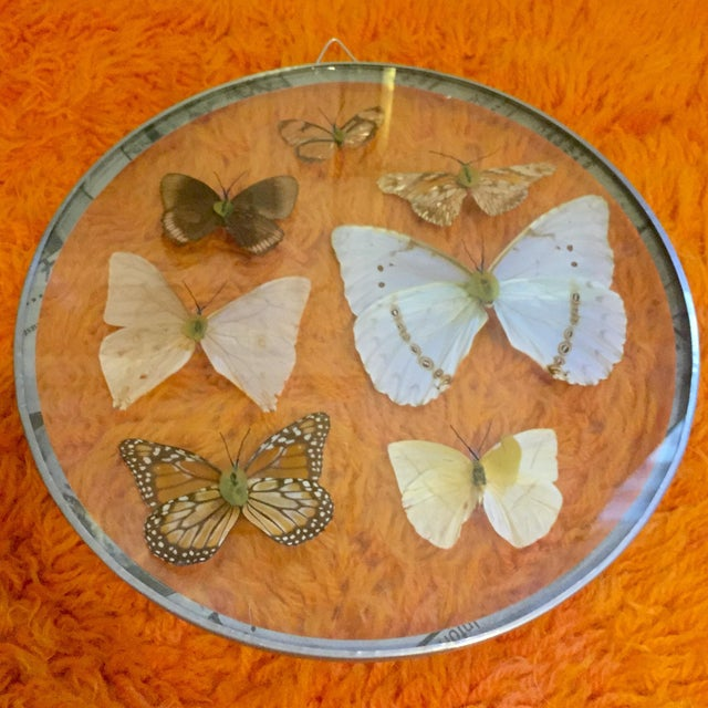 1960s hanging butterfly specimens encased in convex glass frame. Minor wear consistent with age.