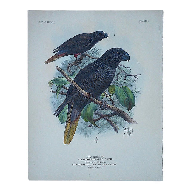Antique Parrot Lithograph-Hand Colored-Black Lory & Bernsteins Lory - Image 1 of 3