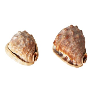 Vintage Conch Shells - a Pair For Sale