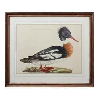 Vintage Framed Duck Print Mergus Serrator For Sale
