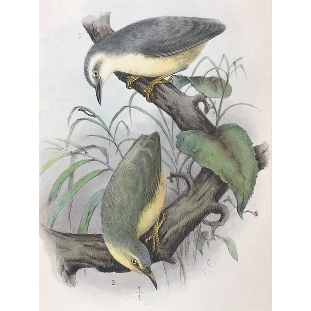 Antique Lithograph of Birds Isis Ornithological Journal 1909 For Sale In New York - Image 6 of 7