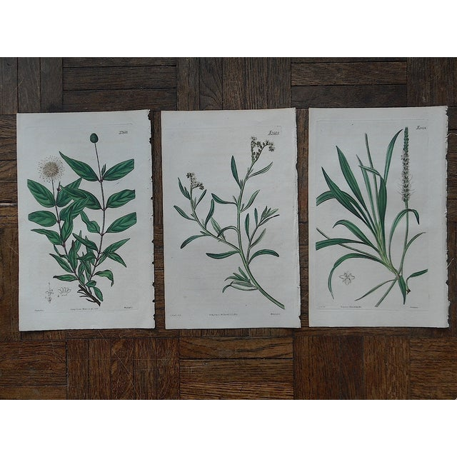Antique Botanical Engravings - 3 - Image 2 of 3