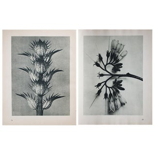 1935 Contemporary Two-Sided Photogravure N77-78 by Karl Blossfeldt