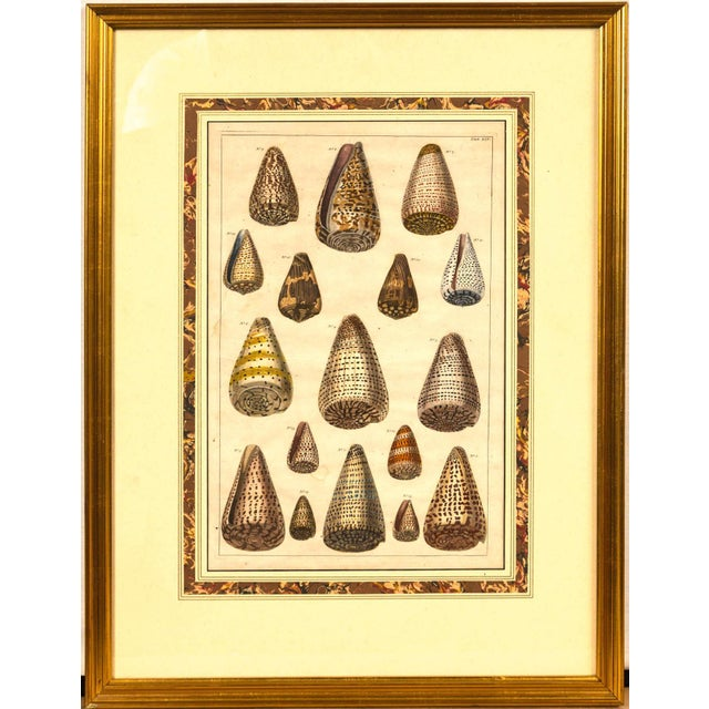 Pair of Framed Hand-Colored Lithographs of Shell Species, 19th Century For Sale - Image 10 of 11