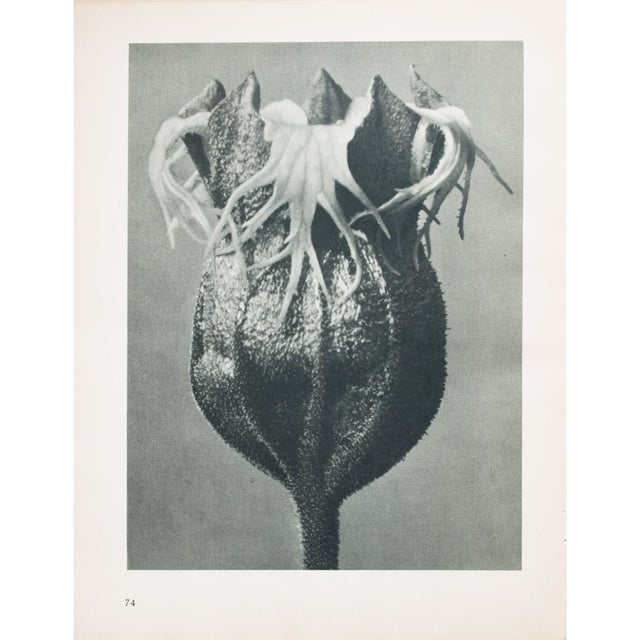 Blossfeldt Double Sided Photogravure - Image 11 of 11