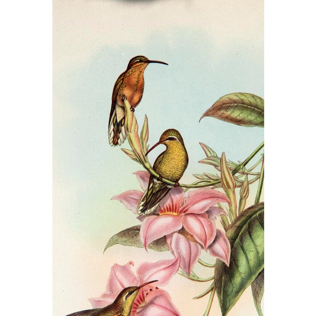 1940s John Gould Hummingbird Lithographs - Set of 6 (Marked Down to $35 Until September 15th) - Image 3 of 11