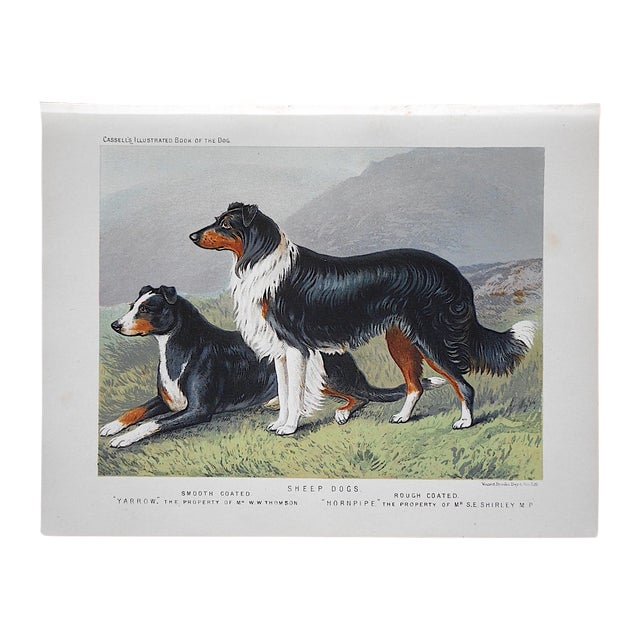 Antique Dog Lithograph - Sheep Dogs - Image 1 of 4