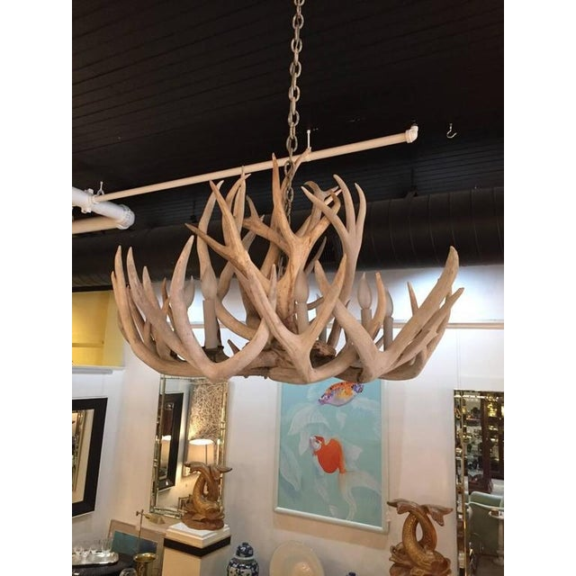 Rare in its fullness and craftsmanship, a large genuine antler chandelier having eight lights and a bleached natural...