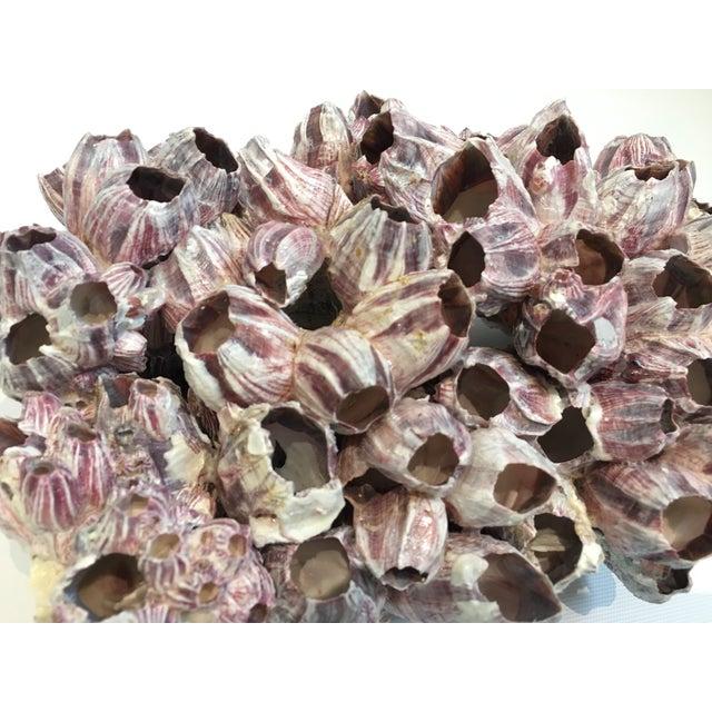 Large Barnacle Cluster Specimen II - Image 4 of 5