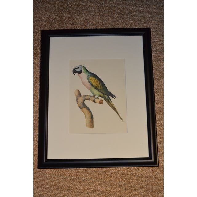 "Late 20th Century Matted and Framed Vintage Larousse Perroquet ""Moustache Parakeet"" Color Lithograph For Sale - Image 5 of 8"