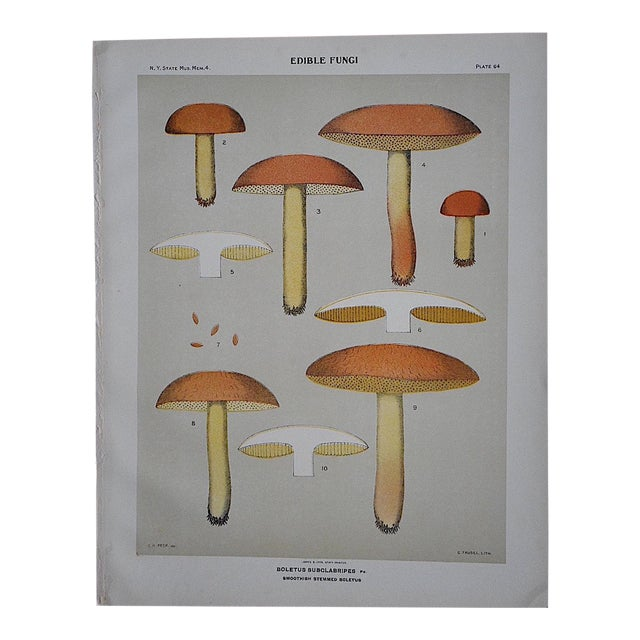 Antique Mushroom Chromolithograph For Sale