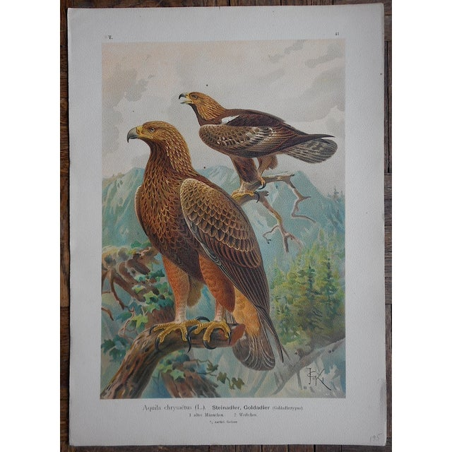 Cottage Antique Lithograph Birds of Prey-Large Folio For Sale - Image 3 of 3