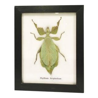 Framed Leaf Insect Specimen