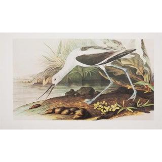 XL Audubon Print of American Avocet, 1966