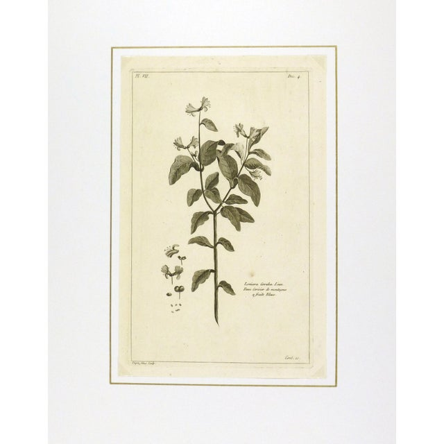 Traditional Antique Engraving - Lonicera Cœrulea, 1773 For Sale - Image 3 of 3