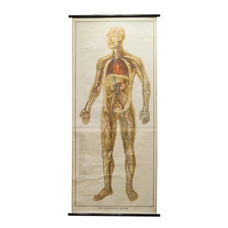 Vintage Circulatory System Anatomical Chart C.1952 For Sale