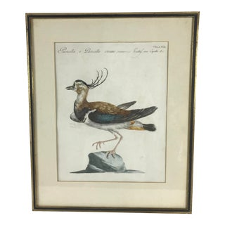 Late 18th Century Northern Lapwing Bird Print Hand Colored Engraving by Saverio Manetti For Sale