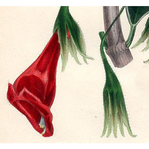 Original hand colored lithograph of the Splendid-flowering Columnea, a plant native to tropical America and the Caribbean....