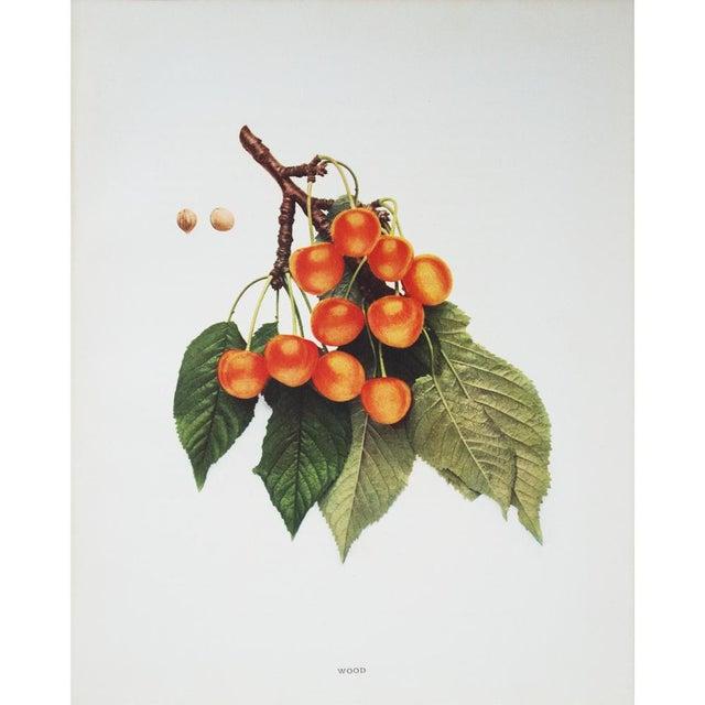 Large Antique Fruit Photoengravings - Set of 4 - Image 3 of 7
