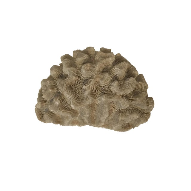 Natural Brain Coral Specimen - Image 1 of 5