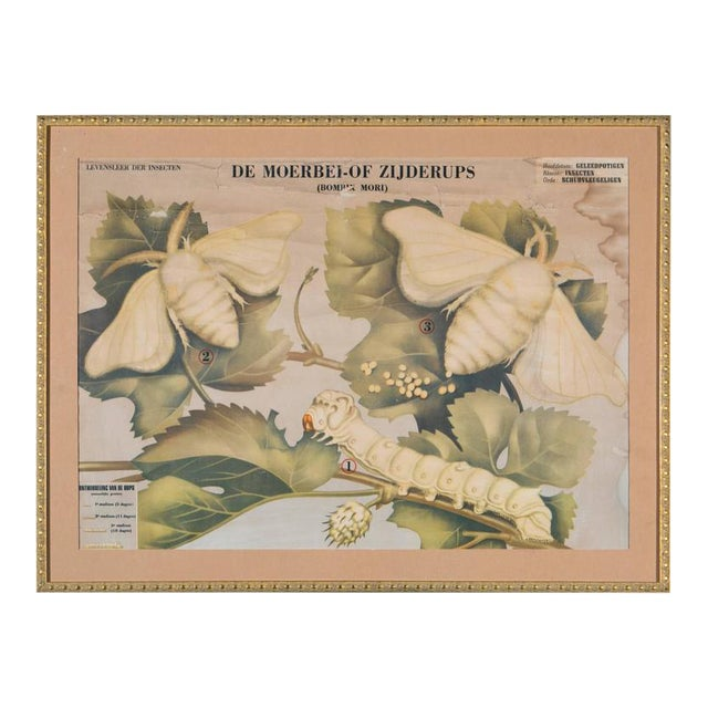 Framed Vintage Chart of White Moth - Image 1 of 5
